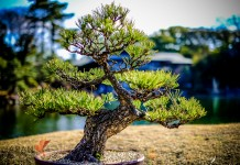 Japanese Bonsai bathed in Sunlight