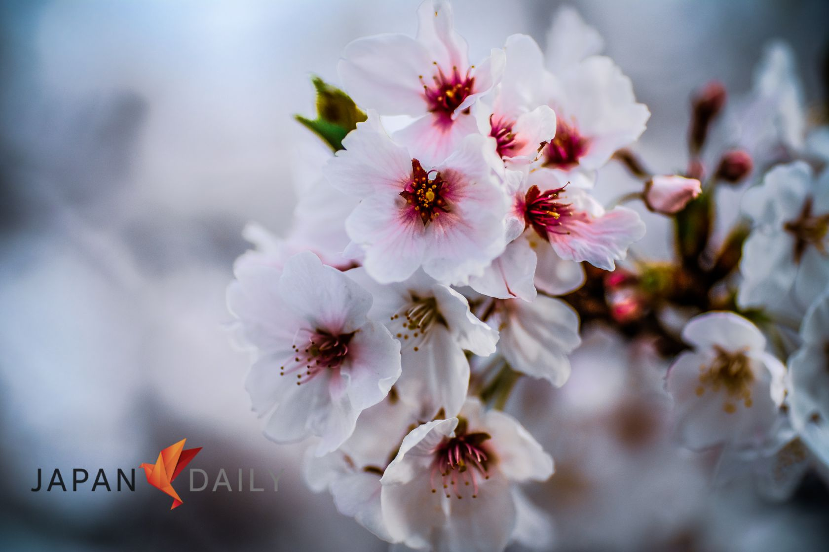 How An Englishman Saved Japan S Cherry Blossoms Japan Daily